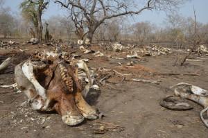 Pohřebiště 89 savanových slonů zabitých pytláky v jihozápadním Čadu pro své kly. Čad, 2013.