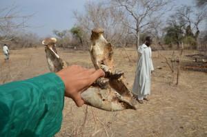 Spodní čelist zabitého slůněte na místě masakru. Pytláci dnes střílejí i maličké slony s drobnými kly. Čad, 2013.