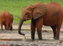 Sloni pralesní na salině Dzanga Bai v rezervaci Dzanga Sangha. Středoafrická republika, 2010. Zdroj: Save-Elephants.org.