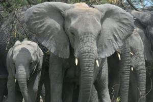 Sloni savanoví u Čadského jezera. Čad, 2013. Zdroj: Save-Elephants.org.
