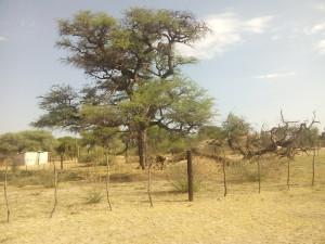 Památný strom v Otjinene připomíná smrt nespočtu Hererů a Namů, kteří na něm byli během potlačování nepokojů připraveni o život oběšením. Zdroj: Wikimedia.